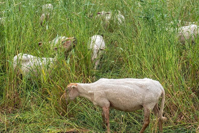 Sheep in the neighborhood