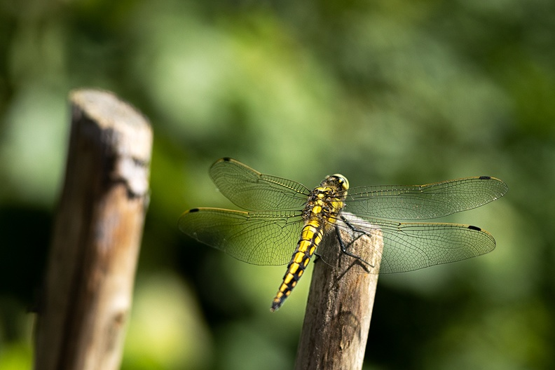 A dragonfly enjoying the sun in my garden