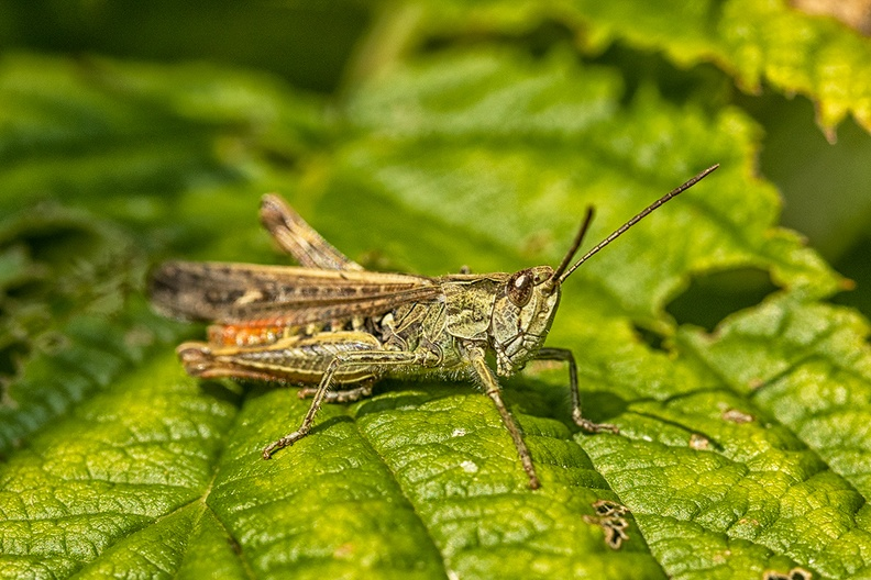 Small insect on a raspberry leaf in my garden. No clue what is. Family of the grasshopper?