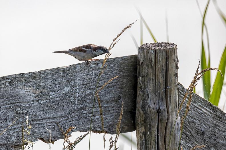 A sparrow on a fence