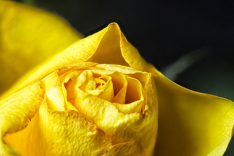 A small yellow rose in a pot