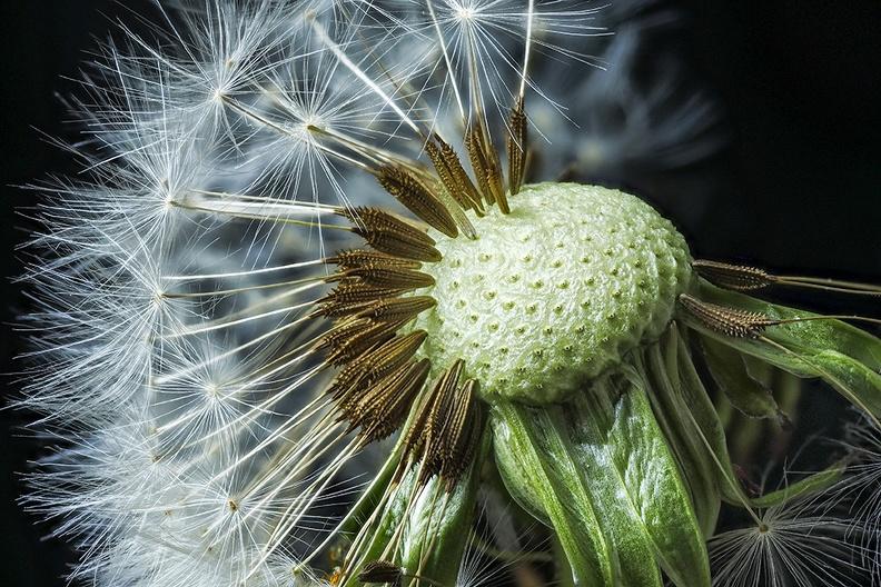 An old dandelion