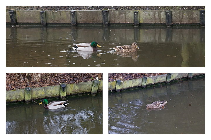 A rainy lunch walk. The ducks above and below are the same.