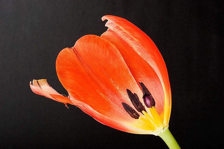 The last day of a tulip