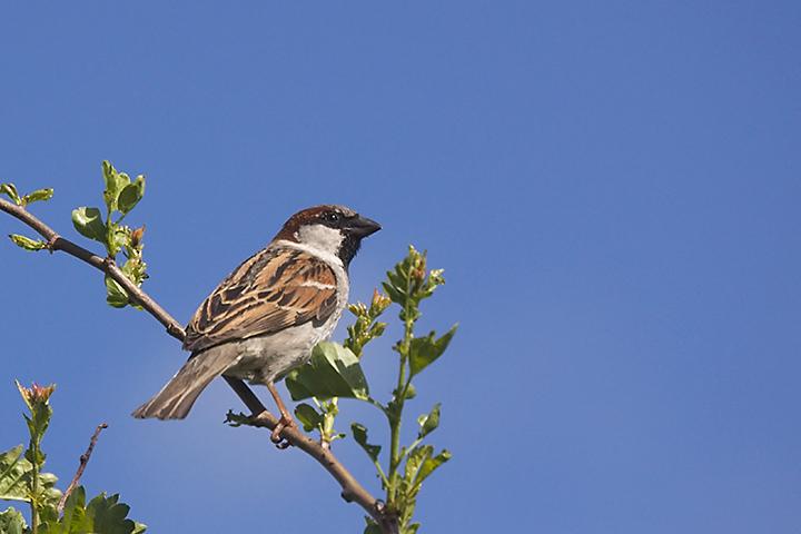 A sparrow in my garden