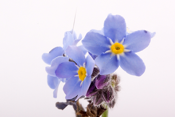 """Some weed I picked from my garden. It was late and dark. Never too old to learn So this is a """"forget-me-not"""", or """"vergeet-me-nietje"""" (in Dutch). I knew such a flower existed, but I didn't know I had it in my garden."""