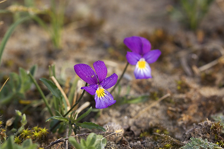"""Couldn't find an English name for this one. We call it """"duinviooltje"""", literally translated """"dune violet"""". Grows in the dunes near the sea. They looked so lovely with the dew in the early morning sunlight."""