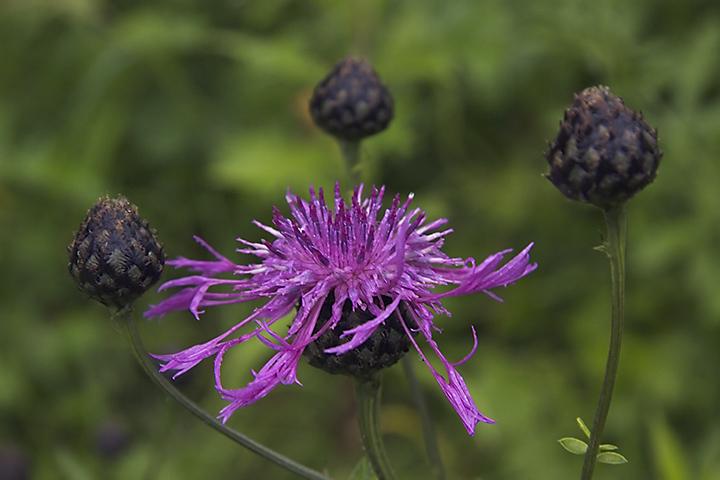 Think it's a thistle, don't know which variant. Made on a rainy short walk.